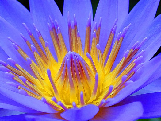Close up of the inside of a water lily