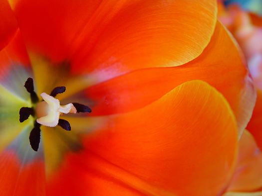 Orange tulip detail