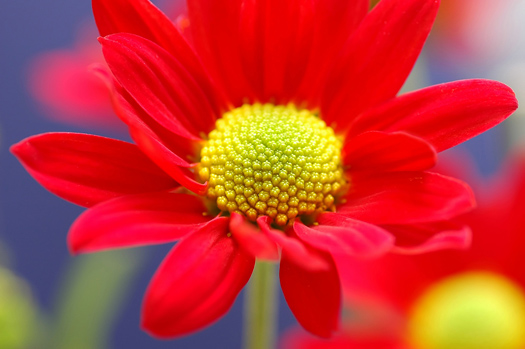 Red flower close-up image