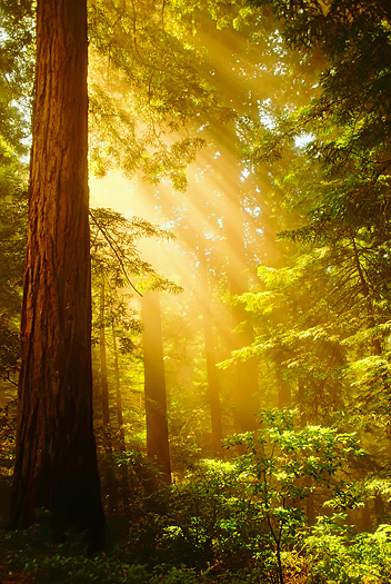 Inspiring Redwoods - Shafts of sunlight bursting through the misty Redwoods