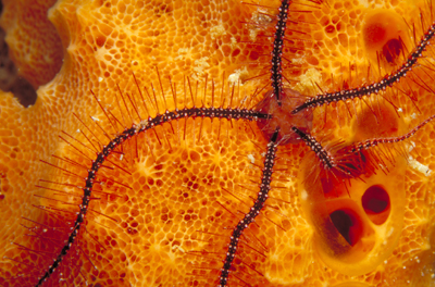 A brittlestar climbs across an orange sponge