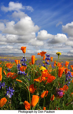 Field poppies against skyscape with clouds by Don Paulson
