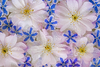 Montage of Cherry Blossoms and Blue Flowers by Don Paulson