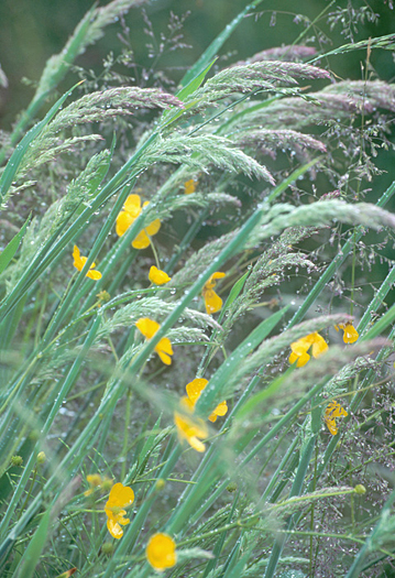 Grass Buttercup Don Paulson
