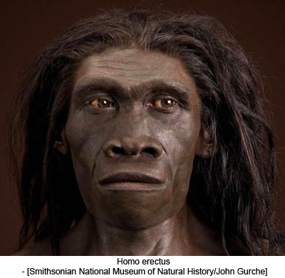 Homo erectus - [Smithsonian National Museum of Natural History/John Gurche]