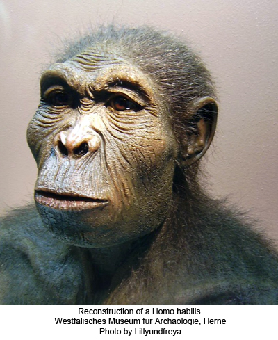 Scientific reconstruction of a Homo habilis [Westfälisches Museum für Archäologie, Herne]