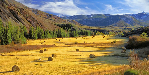 Golden Wheat Fields with Round Bales