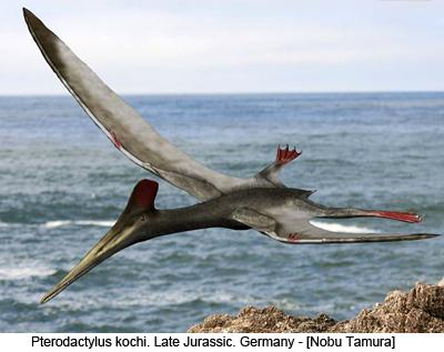 Pterodactylus kochi. Late Jurassic, Germany - [Nobu Tamura]