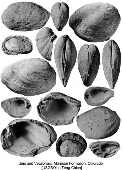 Unio and Vetulonaia. Morrison Formation, Colorado - [USGS/Yen Teng-Chien]