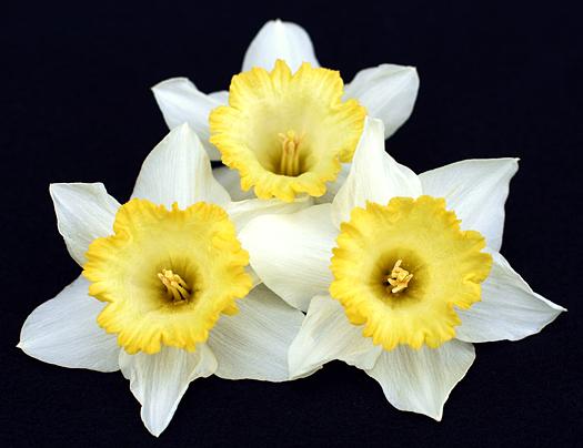 Three daffodils on a black background