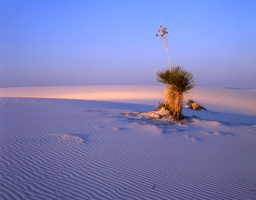 A large soaptree yucca plant growing in the white sand of New Mexico's White Sand National Monument.