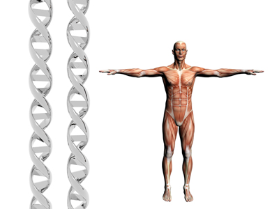 Two dna strands, muscular anatomical correct male model