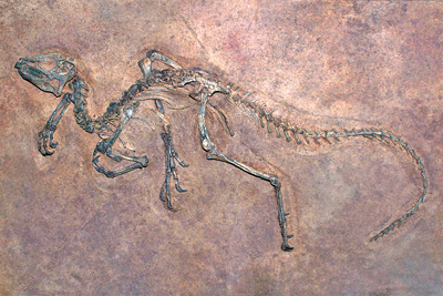 Excavated dinosaur fossil partially embedded in rock