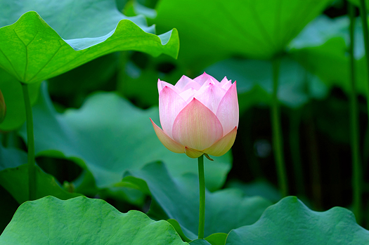 A lotus flower with color of light pink