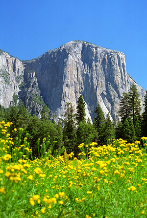 El Capitan and a bed of wild flowers. Yosemite