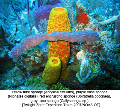 Yellow tube sponge (Aplysina fistularis), purple vase sponge (Niphates digitalis), red encrusting sponge (Spiratrella coccinea), gray rope sponge (Callyspongia sp.) - [Twilight Zone Expedition Team 2007/NOAA-OE]